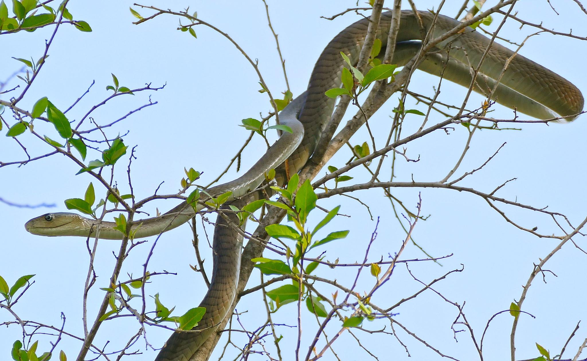 Mamba negra subida a un árbol