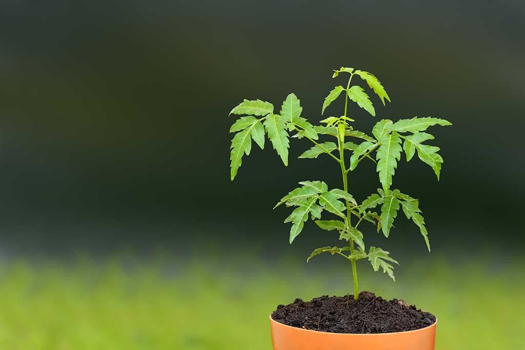 Neem's botanical name, Azadirachta indica, has come from a Persian description
