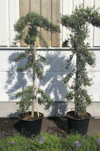 Olijfbomen speciale vormen