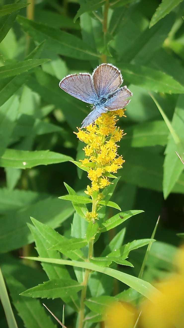 A eakirts blue butterfly on velvety goldenrod