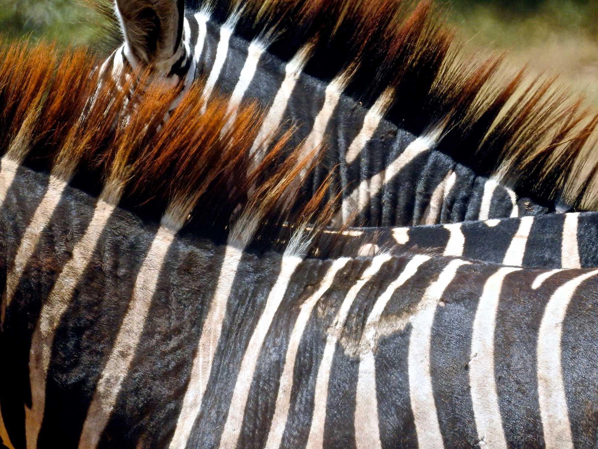 Tanzania Zebra Necks