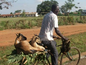 Goat transport on a bicycle.