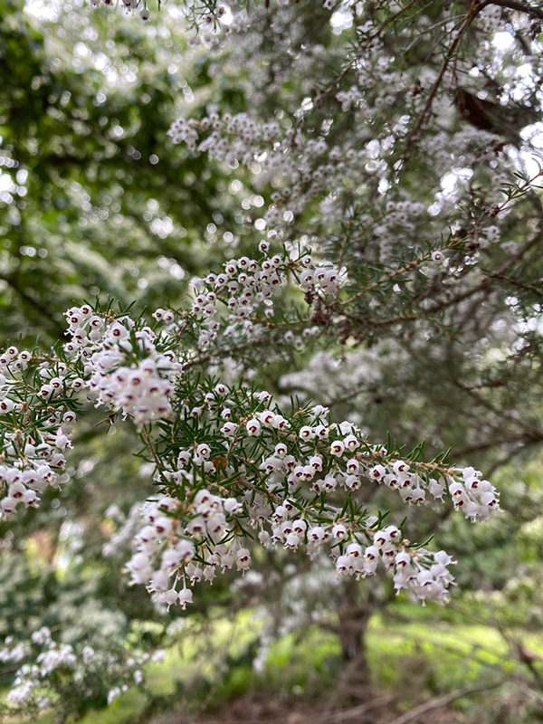 Clusters of small white bell-shaped blossoms on a tree