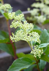 Hydrangea paniculata Living Brussels Lace®