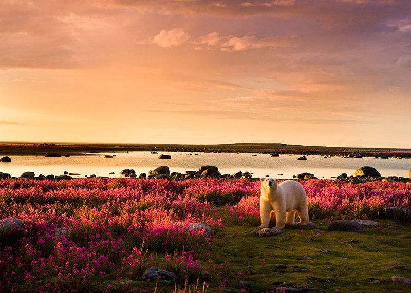 polar bear in a field of flowers at sunset