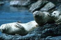 Common Seals basking on the rocks