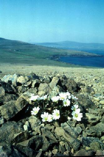 Shetland Mouse-ear surviving between the stones.