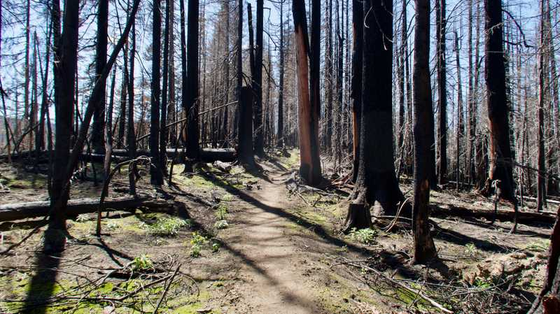 Trees burned in the Norse Peak fire