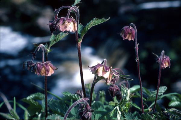 A group of Water Avens flowers