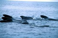Pilot Whales