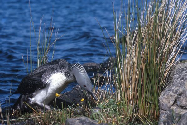 Red-throated Diver tending her nest