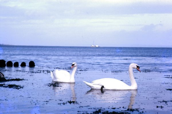 Mute Swans on a visit to Shetland