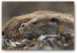 Local dog otter resting after a busy morning  » Click to zoom ->