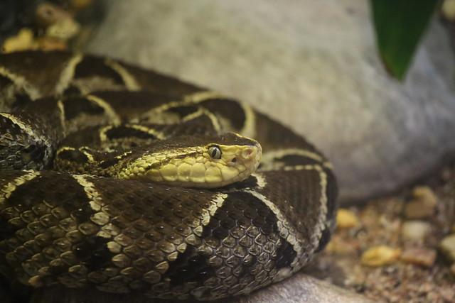 Serpiente terciopelo en su habitat