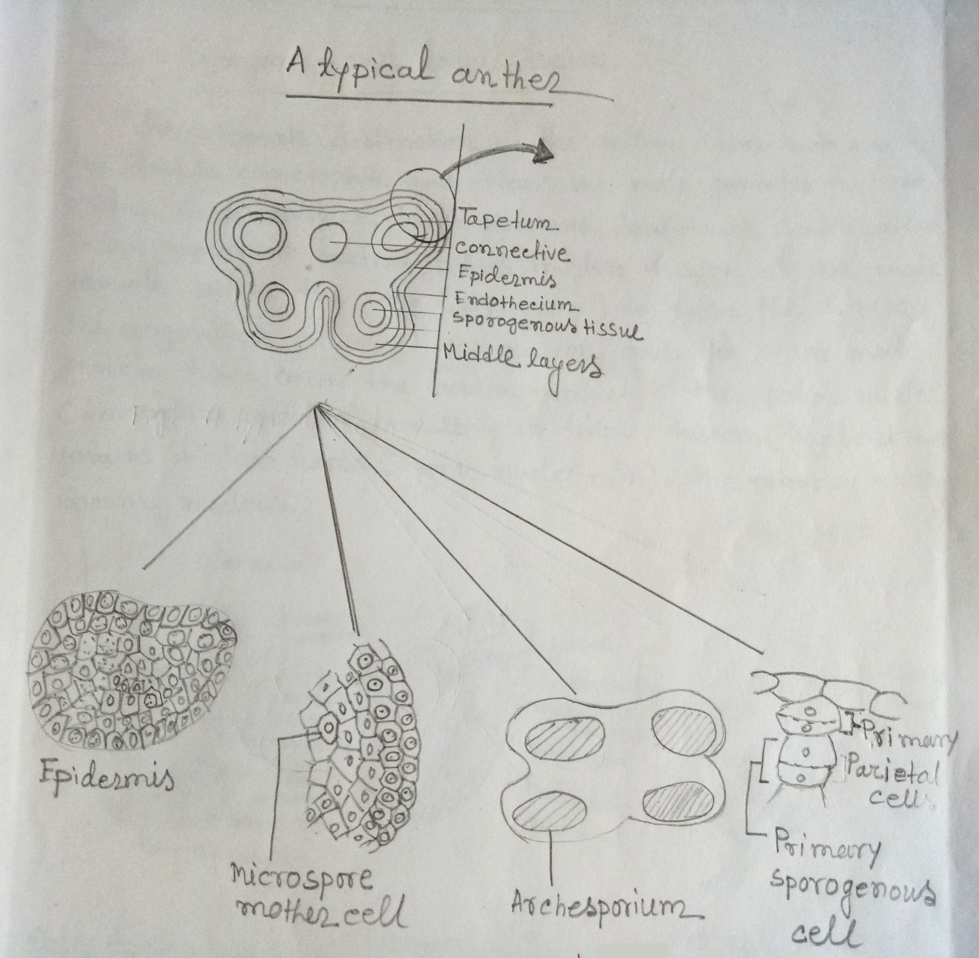 Diagrammatic representation of different stages of development of microsporangium
