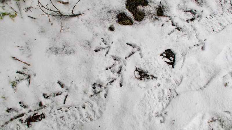 Turkey tracks on the trail