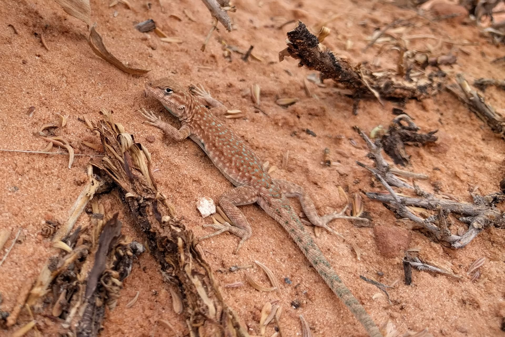 A lizard suns itself in the desert sand. Its coloring closely matches the red sand, except for a stipe of turquoise spots down its back and tail.