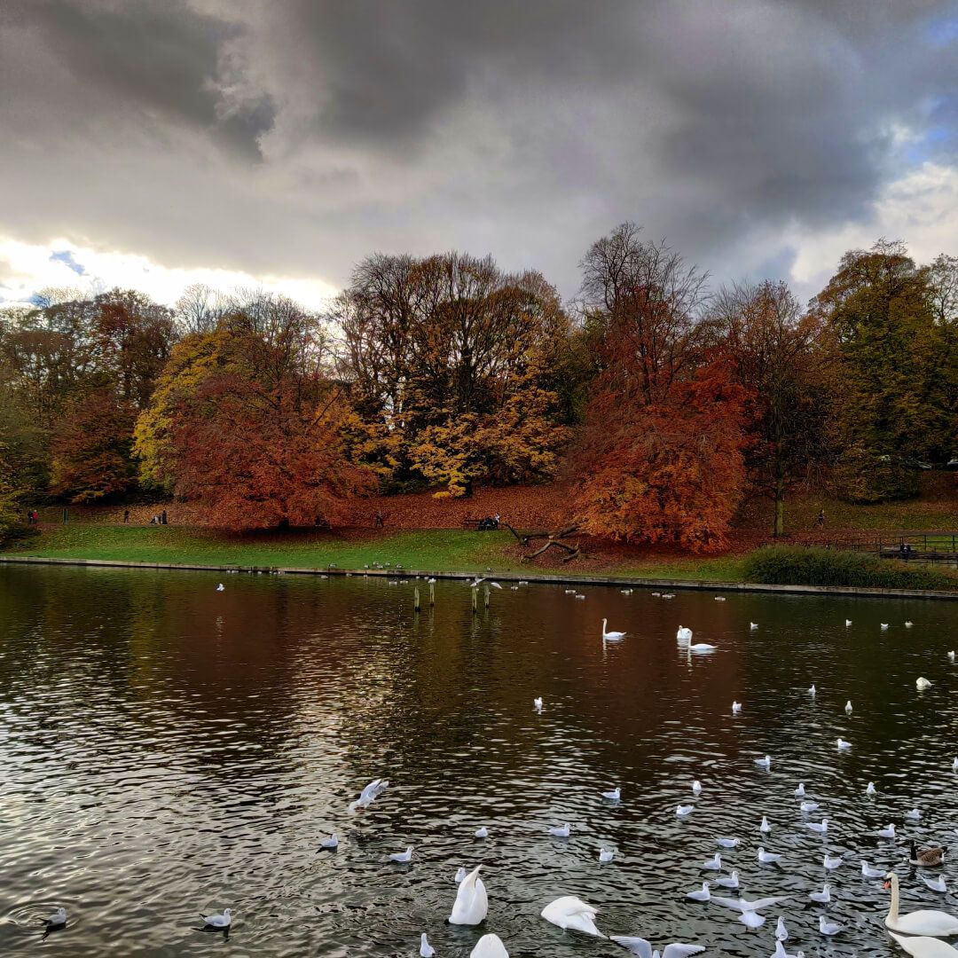 Roundhay Park lake with Swans and Geese