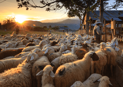 A farmer with a flock of sheep at sunset