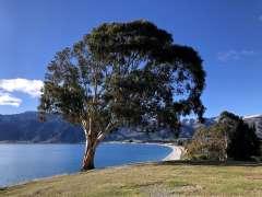 Lake Hawea tree
