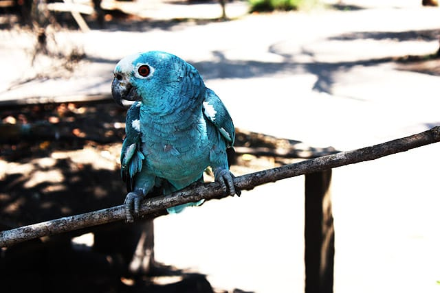 Papagaio azul devido ao cianismo