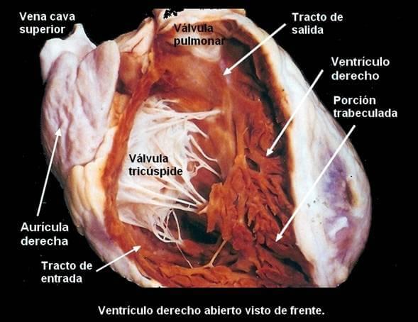 anatomia-cardiaca-ventriculo-derecho.jpg