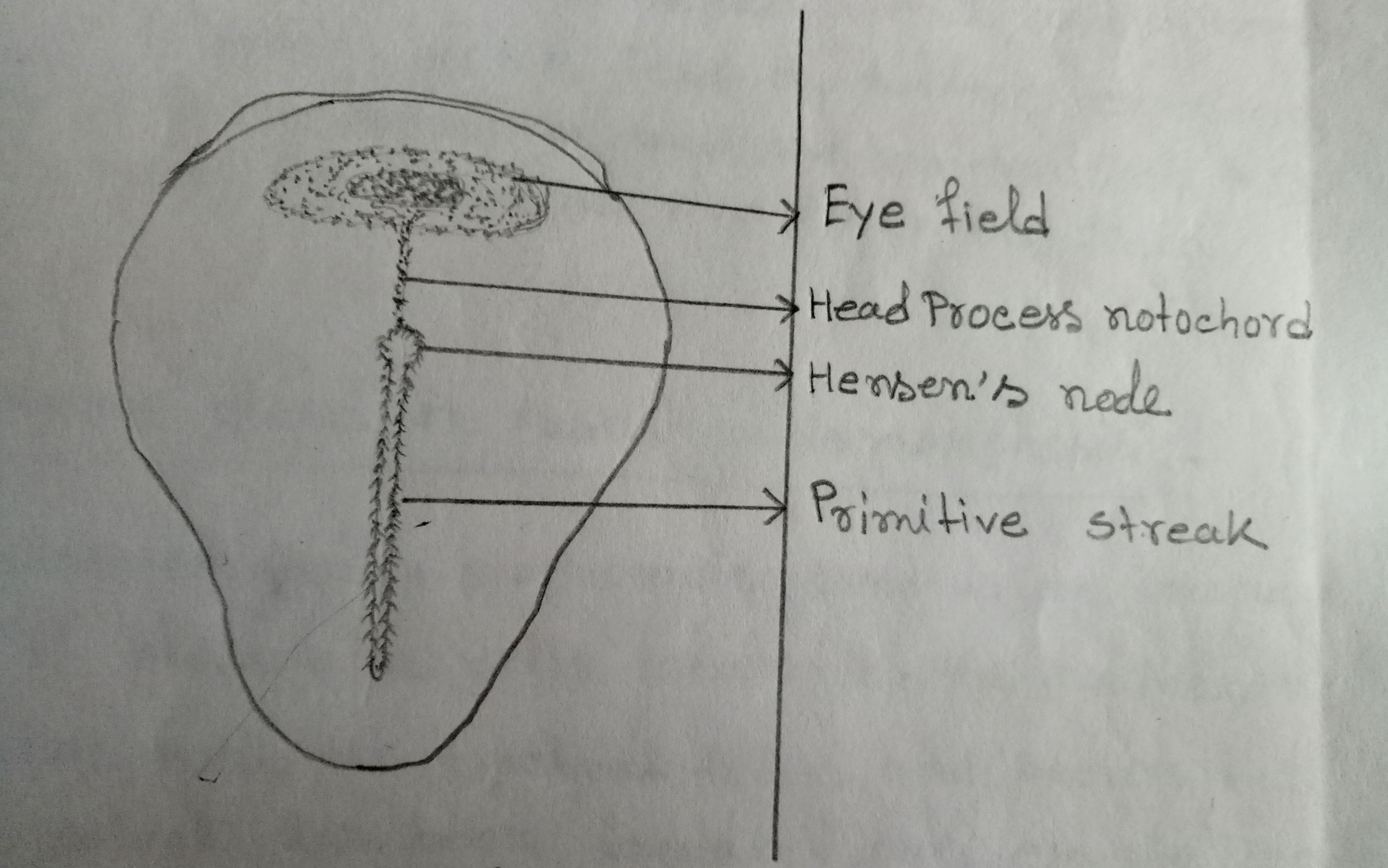 The eye-forming area of the chick blastoderm at the stage of the head process