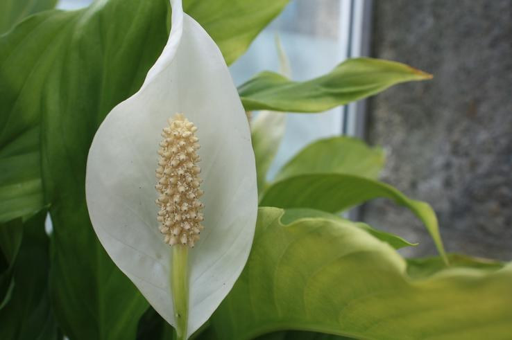 Maria has been using the continuous improvement framework to enhance her care regime of the office Peace Lily