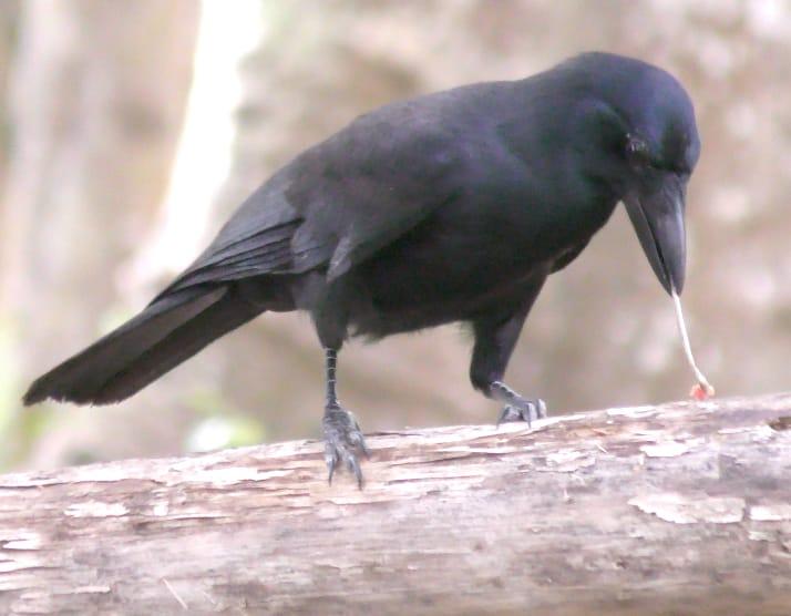 Corvo da Nova Caledônia usando um graveto para pegar larvas