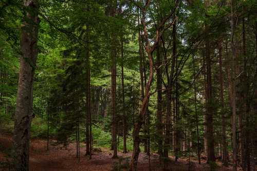 Râșnov Forest