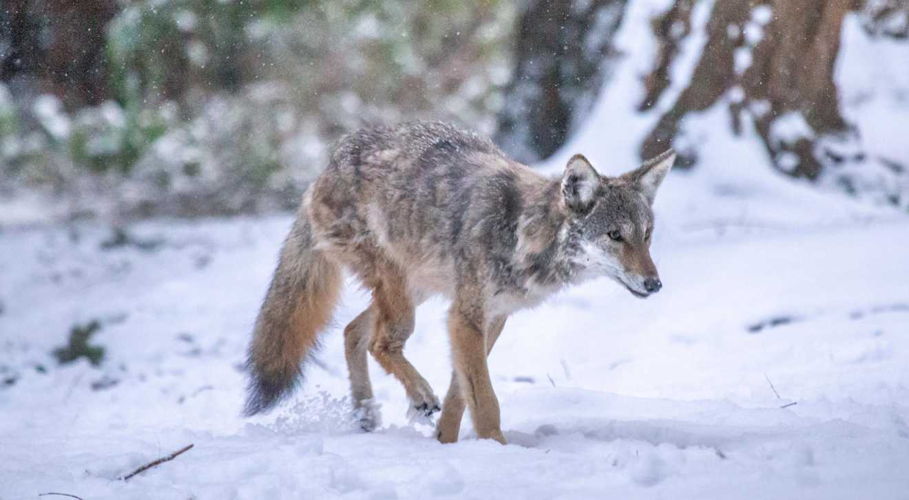 Kip, UBC's resident coyote, walks through snow