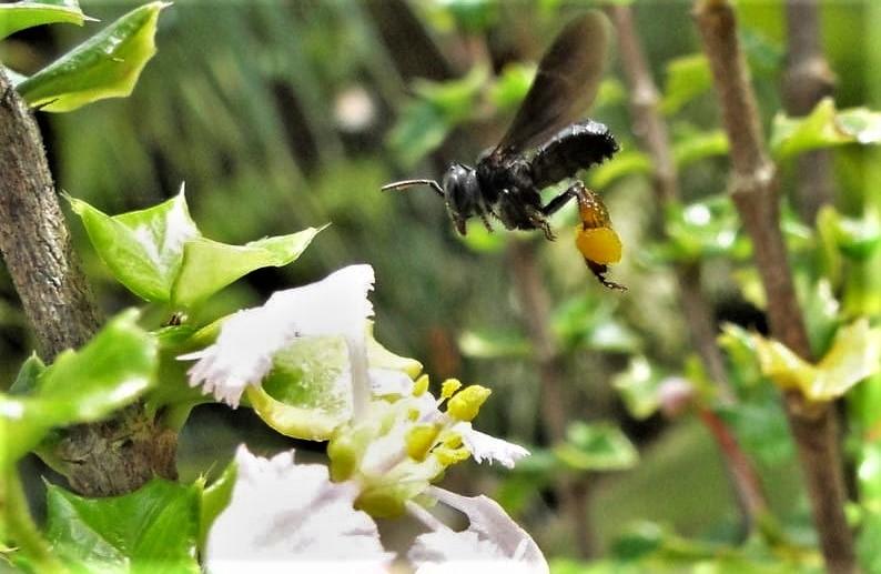 Abelha social sem ferrão da espécie Trigona spinipes (conhecida como arapuá), voando em direção a uma flor, com as bolsas em suas patas carregadas de pólen.