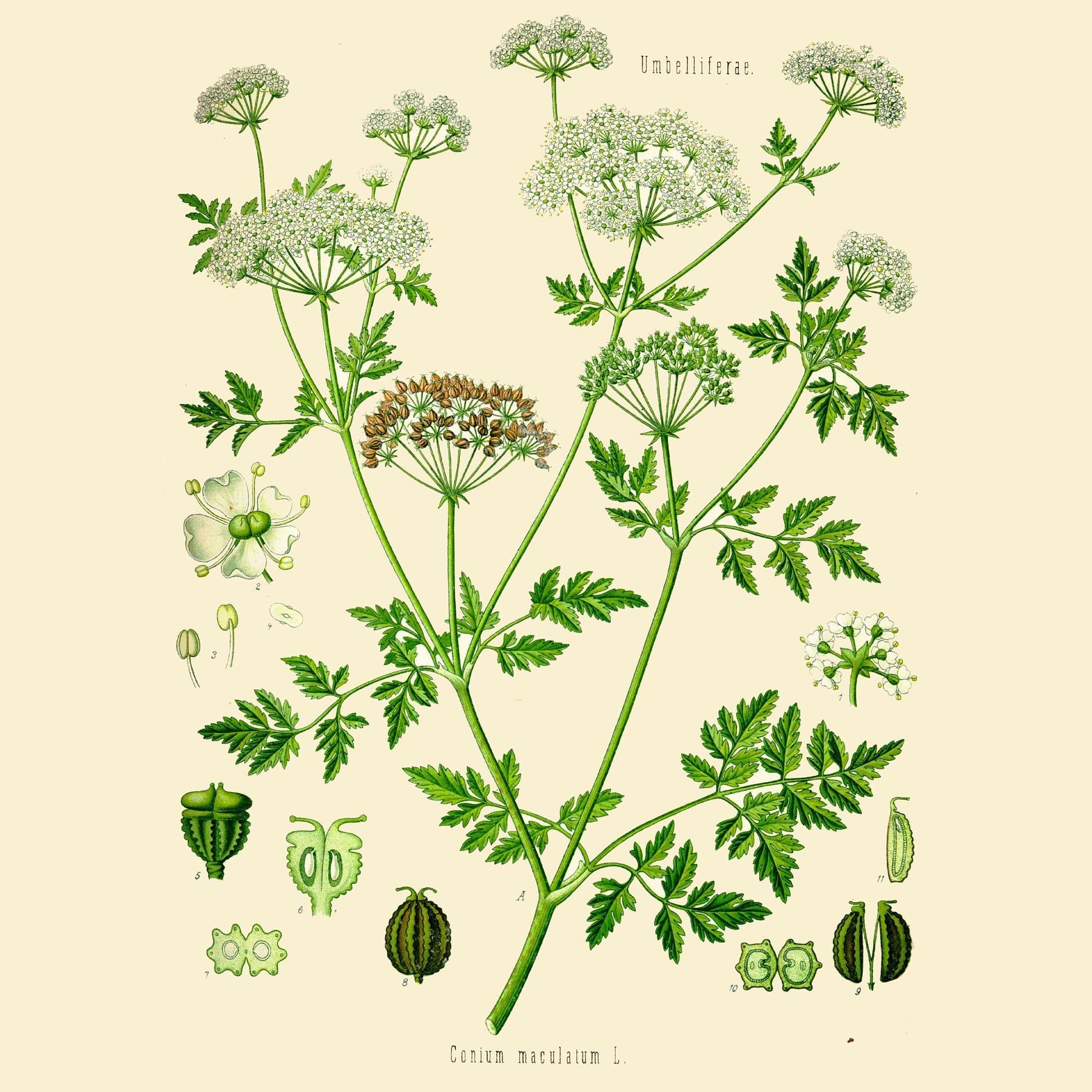 Болиголов пятнистый (Conium maculatum). Источник: pinterest.ru