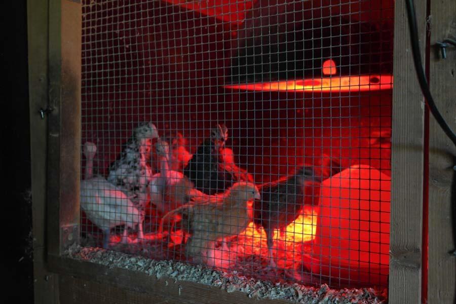 Kycklingar som växer till sig.