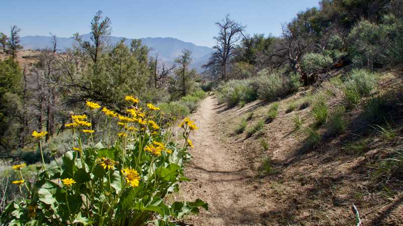 arrowleaf balsamroot on the PCT