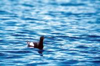 A Black Guillemot out at sea