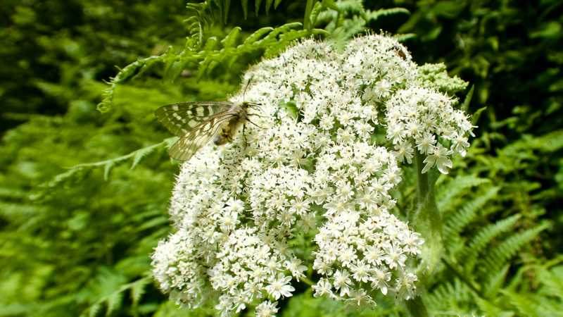 White spiraea flowers with a moth