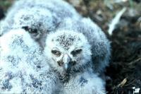 Juvenile Snowy Owls