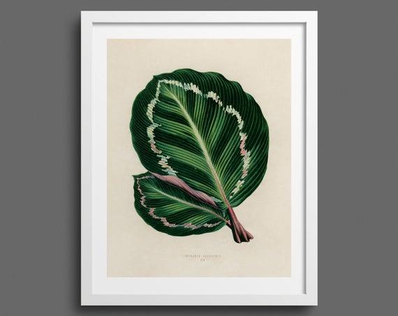 Prayer Plant leaf (Maranta Illustris)