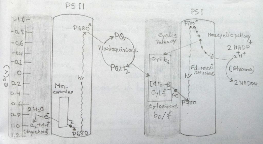 Electrons transport pathway through photosystem I & photosystem II