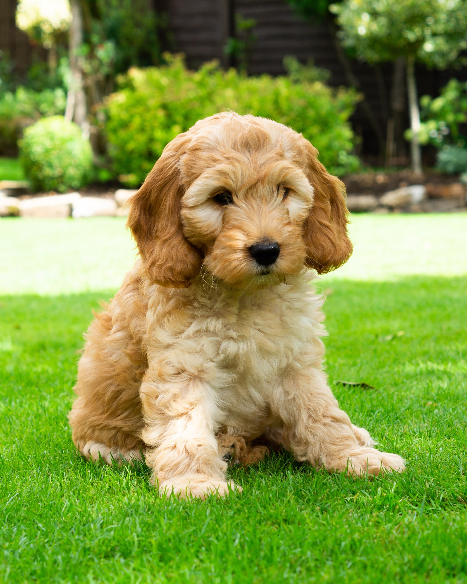Apricot cockapoo puppy