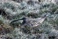 A Curlew nests on the grass