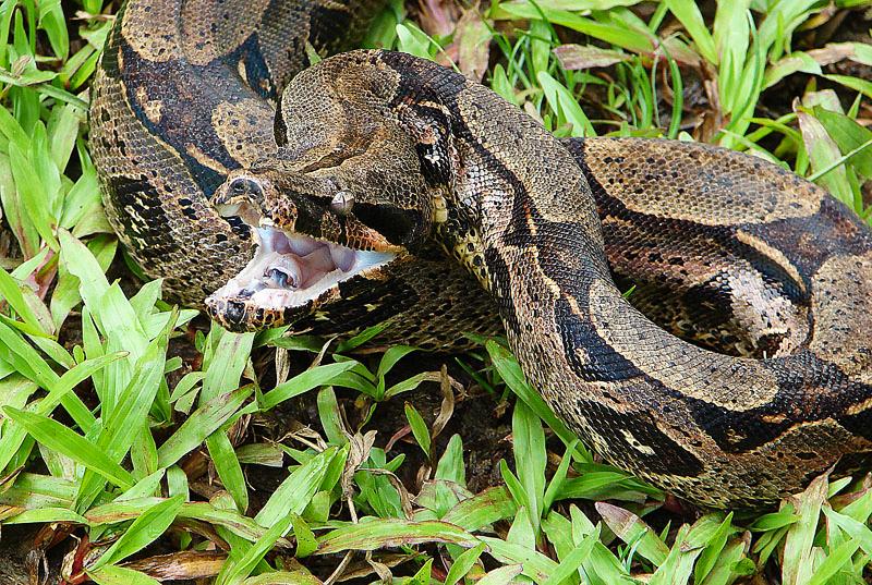A dentição das serpentes