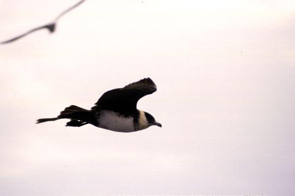 A Pomarine Skua in flight