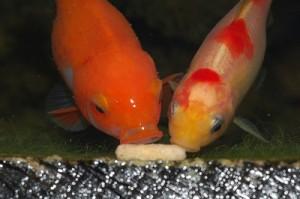 Goldfish Feed and Put