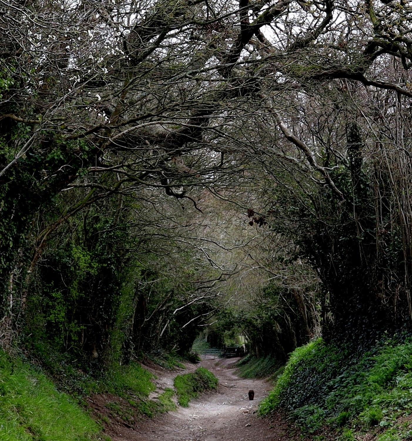 A tunnel of trees that line the path to Halnaker Mill. A sussex spaniel is walking down the path.