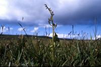 Moonwort growing against a cloudy sky