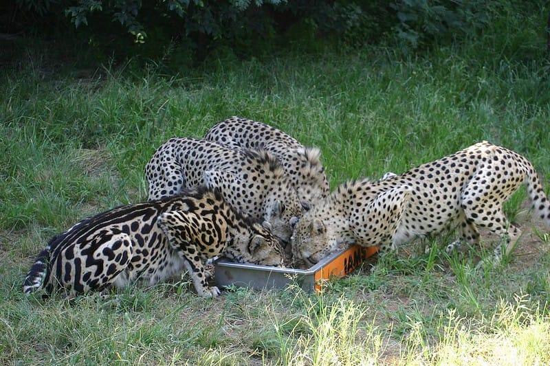No lado esquerdo da imagem, é possível ver um jovem guepardo-rei. Suas pintas são muito maiores e compridas do que as de seus irmãos ao seu lado