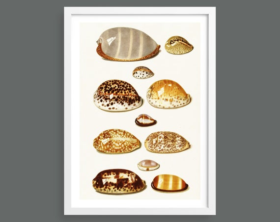 Eleven Tropical Cowrie Shells