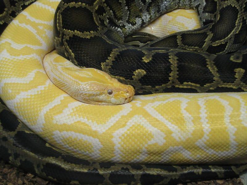 Píton com xantismo, branca e amarela em contraste com uma píton com coloração normal.